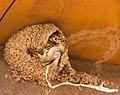 Sparrow Babies in Swallow's Nest (9162745803).jpg
