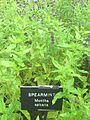 Spearmint Mentha spicata in Hardwick Hall garden 2012.jpg