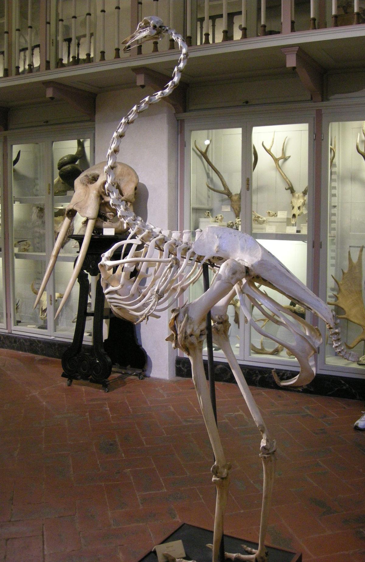 Specola, sala degli scheletri, struzzo ed elefante.JPG