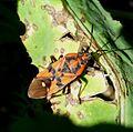 Spilostethus pandurus. Lygaeidae - Flickr - gailhampshire.jpg