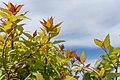 Spiraea Poprocks Rainbow Fizz, Saanich, British Columbia, Canada 02.jpg
