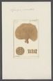 Spongia penicillata - - Print - Iconographia Zoologica - Special Collections University of Amsterdam - UBAINV0274 112 02 0046.tif