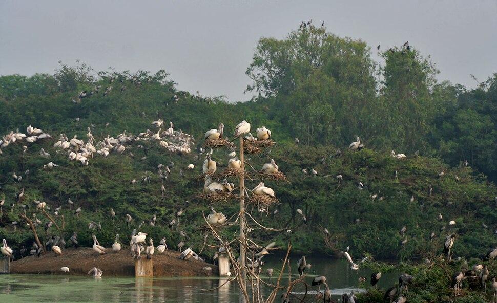 Spot-billed Pelican (Pelecanus philippensis) at nest with chicks in Uppalpadu W IMG 2663