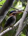 Spotted kingfisher (Actenoides lindsayi) (7184494790) (cropped).jpg