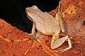 Spring Peeper - Pseudacris crucifer, Mason Neck, Virginia (37629191391).jpg