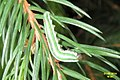 Spruce sawfly larva (NH266) (14518187696).jpg