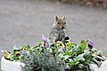 Squirrel - Feb 2010 (4398643669).jpg