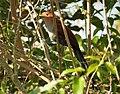 Squirrel Cuckoo. Piaya cayana - Flickr - gailhampshire (2).jpg