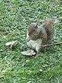 Squirrel in St James's Park SW1 - geograph.org.uk - 1384923.jpg