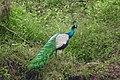 Sri lankan peacock.jpg
