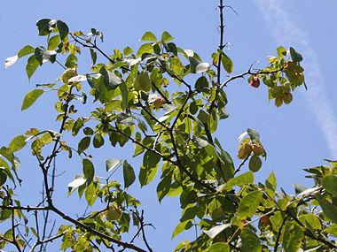 Staphylea trifolia SCA-5110.jpg