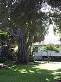 Starr-041022-0019-Cinnamomum camphora-habit-Makawao-Maui (24624600011).jpg