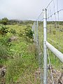 Starr-051105-5190-Bocconia frutescens-habitat and fenceline excl 2-Auwahi-Maui (24822953656).jpg