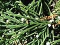 Starr-080604-6195-Juniperus bermudiana-needles and cones-Road to Marine barracks Sand Island-Midway Atoll (24617968940).jpg