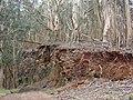 Starr-090317-5053-Eucalyptus globulus-large trees and roadcut into gulch-Kahakapao Reservoir Haleakala Ranch-Maui (24922257136).jpg