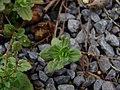 Starr-090401-5491-Veronica arvensis-leaves-Olinda-Maui (24324071953).jpg