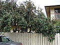 Starr-090417-6127-Chrysophyllum cainito-fruiting habit-Haliimaile-Maui (24952161655).jpg