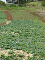 Starr-090430-6763-Brassica oleracea var capitata-crop-Kula-Maui (24585666179).jpg