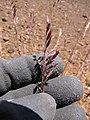 Starr-090629-1977-Festuca rubra-seedhead in hand-Science City-Maui (24672215900).jpg