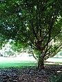 Starr-091104-0979-Dillenia indica-habit-Kahanu Gardens NTBG Kaeleku Hana-Maui (24357352074).jpg