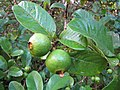 Starr-091112-9527-Psidium guajava-green fruit-West Maui-Maui (24621990119).jpg