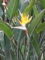 Starr-110307-2100-Strelitzia reginae-flower and leaves-Kula Botanical Garden-Maui (24984269881).jpg