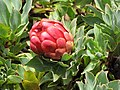 Starr-110307-2618-Protea grandiceps-flower and leaves-Kula Botanical Garden-Maui (24960270442).jpg