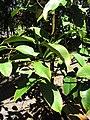 Starr-110330-4208-Garcinia mangostana-leaves-Garden of Eden Keanae-Maui (24454543043).jpg