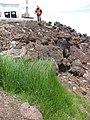 Starr-110515-6547-Poa pratensis-habit in runoff area-Science City-Maui (24464470944).jpg