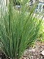 Starr-120330-9244-Juncus sp-planting-Makawao-Maui (24511449623).jpg