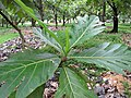 Starr-120606-6999-Artocarpus altilis-leaves-Kahanu Gardens Hana-Maui (24517798263).jpg