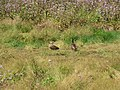 Starr-130322-3803-Ageratum houstonianum-habitat with koloa ducks-Hanalei NWR-Kauai (25183405846).jpg