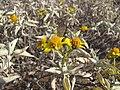 Starr-130422-4272-Encelia farinosa-flowers-Kahului-Maui (24914820120).jpg