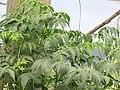 Starr-130708-5629-Melia azedarach-leaves-Ulupalakua Ranch-Maui (24588957154).jpg