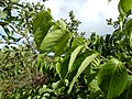 Starr-140222-0331-Banisteriopsis caapi-leaves-Haiku-Maui (25147314901).jpg