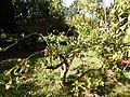 Starr-150112-3406-Citrus limonia-fruiting habit-Hawea Pl Olinda-Maui (24896779849).jpg
