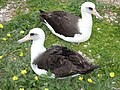 Starr-150403-0249-Coronopus didymus-Laysan Albatrosses-Revetment Central Eastern Island-Midway Atoll (25249715236).jpg