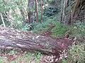 Starr-161219-6335-Fraxinus uhdei-trail through woods tree down-Hawea Pl Olinda-Maui (32465250705).jpg