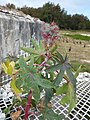 Starr-170628-0271-Ricinus communis-leaves flowers fruit forming coming out of concrete box with grate top-Radar Hill Sand Island-Midway Atoll (36320100531).jpg