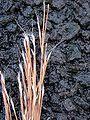 Starr 011205-0054 Schizachyrium condensatum.jpg