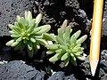 Starr 020309-0006 Portulaca villosa.jpg