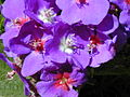 Starr 020815-0010 Tibouchina multiflora.jpg