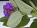 Starr 020815-0061 Tibouchina multiflora.jpg