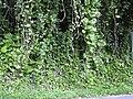 Starr 040209-0234 Epipremnum pinnatum.jpg