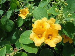 Sida (plant)