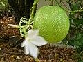 Starr 050517-1486 Cerbera manghas.jpg