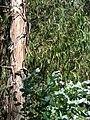 Starr 050831-4229 Eucalyptus globulus.jpg