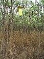 Starr 060918-8991 Leucaena leucocephala.jpg