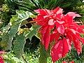 Starr 061201-1773 Euphorbia pulcherrima.jpg