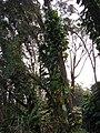 Starr 061212-2293 Epipremnum pinnatum.jpg